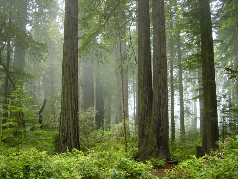 Coastal Redwoods, California